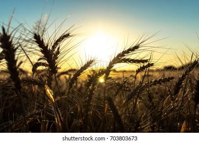 Sunset Wheat Field 3