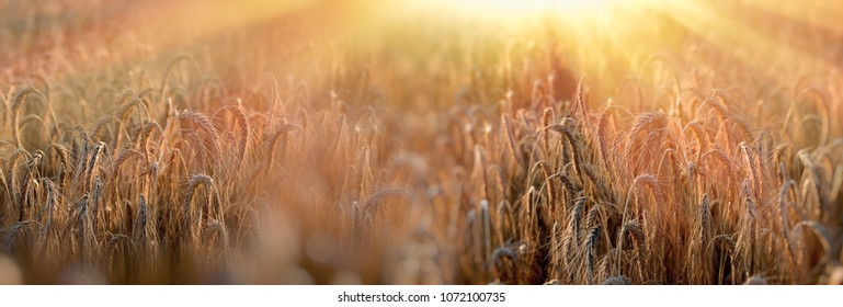 Sunset in wheat field, late afternoon in wheat field - dusk in the cereal field