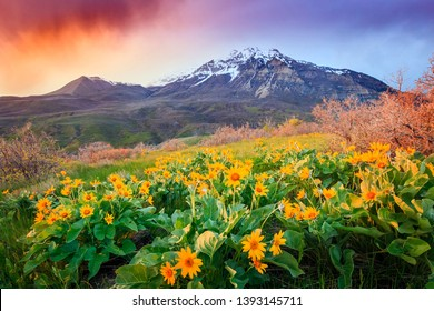 Sunset wildflowers on Provo Peak, Utah, USA.
