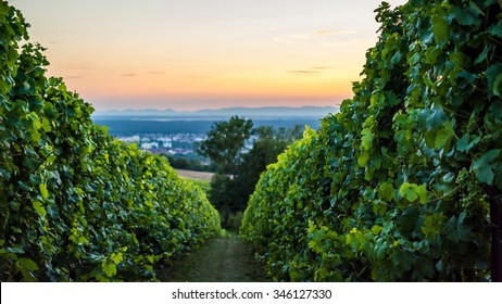 sunset in a wineyard