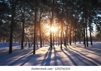Sunset in a winter forest. Landscape with a coniferous forest in beams of sunrise