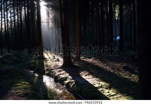Sunshine among pine tree in a forest