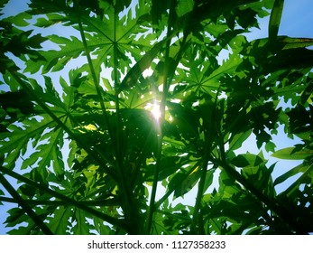 Sunshine between the leaf of papaya tree in the garden