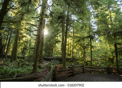 Sunshine bursting through the canopy & through trees, creating silhouettes & backlighting the leaves at Cathedral Grove, Vancouver Island, Canada