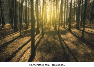 Sunshine cedar forest