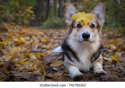 Sunshine. Dog breed Welsh Corgi Pembroke on a walk in a beautiful autumn forest. Early autumn.