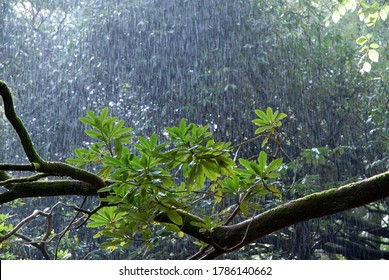 Sunshine and downpour of heavy rain  in woodland with backlit leaves