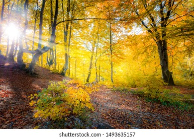 Sunshine in Golden Autumn forest  landscape and big trees with colorful leaves