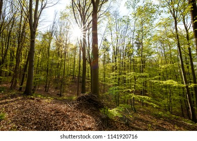 Sunshine in the green beech forest