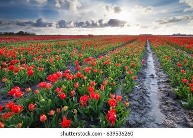 sunshine over red tulips field , Netherlands