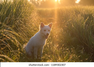 sunshine with White Dog in the Morning in Sunshine  in the golden grass field