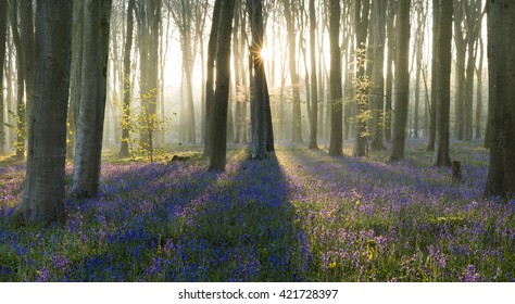 Sunstar and long tree shadows at sunrise in bluebell woods, England
