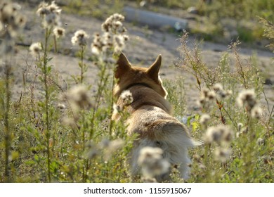 Sunstroke, health of pets in the summer.  Corgi pembroke. How to protect your dog from overheating.Training of dogs.  Young energetic dog on a walk. Whiskers, portrait, closeup. Enjoying, playing, run