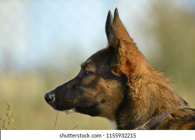 Sunstroke, health of pets in the summer.  How to protect your dog from overheating.Training of dogs.  Young energetic dog on a walk. Whiskers, portrait, closeup. Enjoying, playing, bokeh