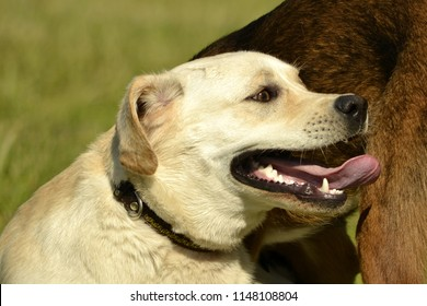 Sunstroke, health of pets in the summer. Labrador. Dogs play with each other. How to protect your dog from overheating.Training of dogs.  Young energetic dog on a walk.