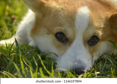 Sunstroke, health of pets in the summer. Puppy Corgi pembroke on a walk. How to protect your dog from overheating.Training of dogs.  Puppies education, cynology, intensive training of young dogs.