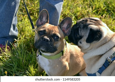 Sunstroke, health of pets in the summer. Young pug-dog and French Bulldog. How to protect your dog from overheating.Training of dogs.  Young energetic dog on a walk.