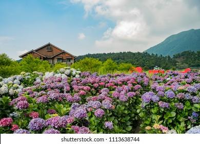 Super beautiful blossom of Hydrangea macrophylla at Zhuzihu area, Taipei, Taiwan