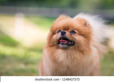 Super beautiful pomeranian dog posing outside after dog show.