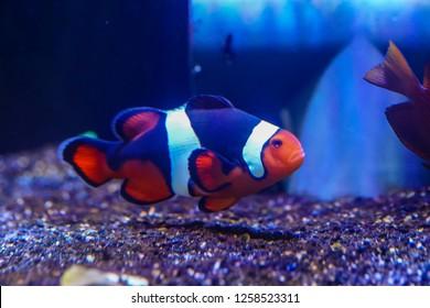 Super Black Clownfish or Onyx Clownfish (Amphiprion percula) is selective breeding of many generations of Percula Clownfish