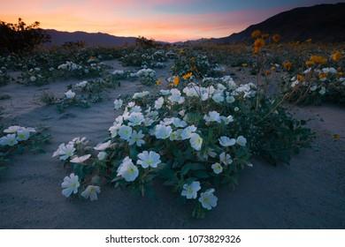 Super bloom, Anza-Borrego Desert, California, USA