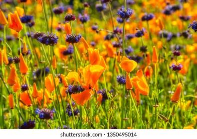 A super bloom in California.