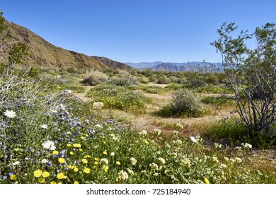super bloom in the California desert after heavy winter rains