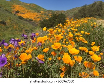 Super bloom of California hills. Blue sky.
