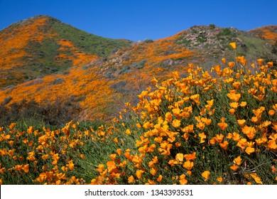 Super Bloom, natural climatic phenomenon, California Golden Poppy blooming at Walker Canyon, Lake Elsinore, Southern California, USA