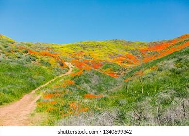 Super Bloom Poppy Flower Field Landscape Shot