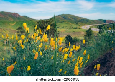 Super Bloom of Poppy Wildflowers with Highway in the background - Los Angeles, California