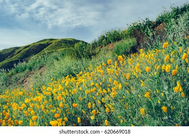 Super Bloom of Poppy Wildflowers - Walker Canyon, California