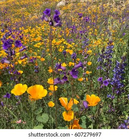 Super bloom in South California. Californian poppies.