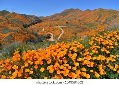 Super Bloom of wildflowers. Lake Elsinore, CA.