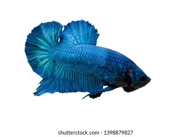 Super Blue Siamese Fighting Fish With beautiful style That is separated from the white scene clearly