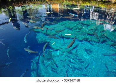 The super clear blue waters with swimming carp/ Superb view in Japan / Oshino Hakkai