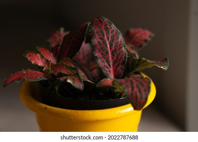 Super close up of a fittonia red and green leaf, inside of a yellow pot.
