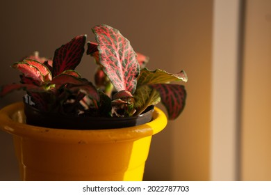 Super close up of a fittonia red and green leaf, inside of a yellow pot. Sun light on the side of the plant.