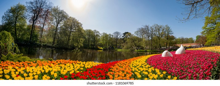 Super colorful tulips blossom in the famous Keukenhof at Netherlands