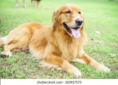 super cute golden retriever laying on the grass