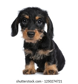 Super cute Mini Dachshund wirehaired sitting down, looking with big droopy eyes to camera. Isolated on white background.