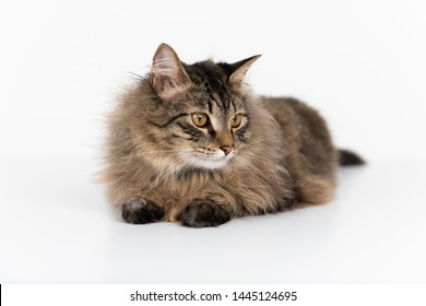 Super Fluffy Tabby Cat on White Background