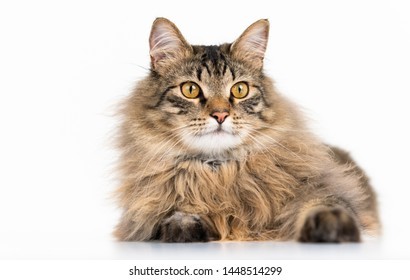 Super Fluffy Tabby Cat on White Background
