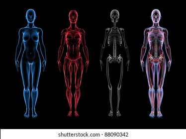 Super high resolution 3D render of female anatomy. Three part break away views. First section is the skin, second is muscle, third section is skeleton. Forth is a composite of all three layers.