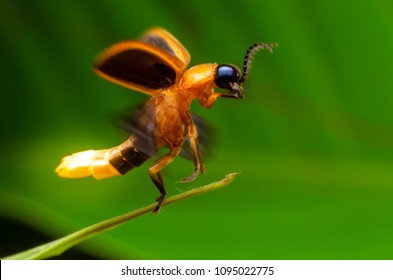 Super macro close up firefly