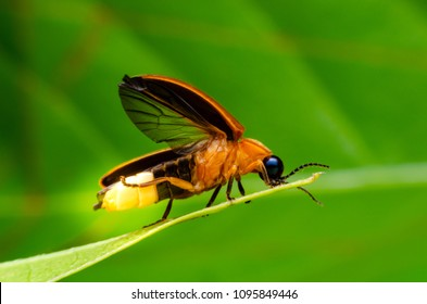 Super macro close up firefly - Shutterstock ID 1095849446