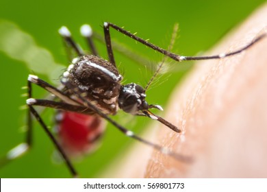 Super macro Dangerous Zica virus aedes aegypti mosquito on human skin , Dengue, Chikungunya, Mayaro fever