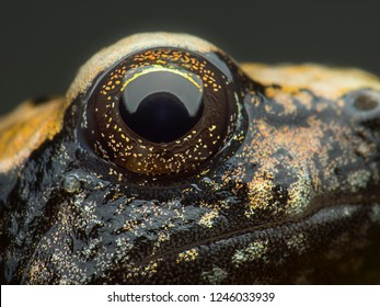 Super macro eye of Asian narrowmouth toad (Kaloula pulchra), at 5X magnification, Good sharpen and detailed very clear.