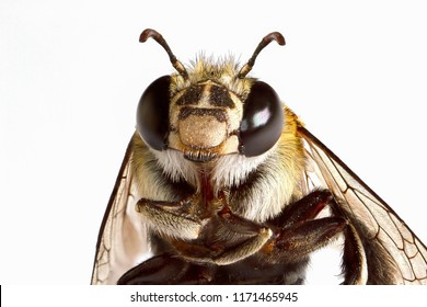 Super macro head shot of bee on white background