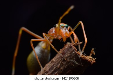Super macro image of ant mimic jumping spider (Salticidae) -Kerengga ant-like jumper, Myrmarachne plataleoides , at high magnification, Good sharpen and detailed very clear.